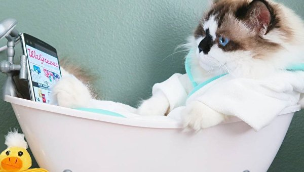 Коротколапый кот Альберт. Архивное фото
