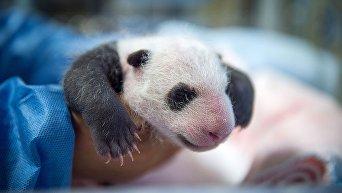 Маленький Юань Цзы - первая панда Франции