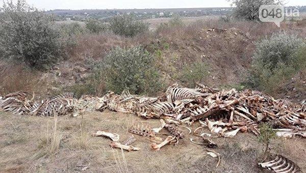 Под Одессой мясной завод складирует трупы животных на побережье
