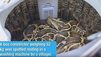 В провинции Гуандун китаянка обнаружила в своей стиральной машине 52-киллограмового питона