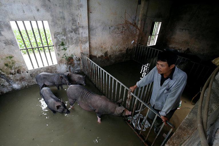 В результате наводнения, которое накрыло свиноводческую ферму в районе Тханьхоа, Вьетнам, погибло около 4000 свиней.