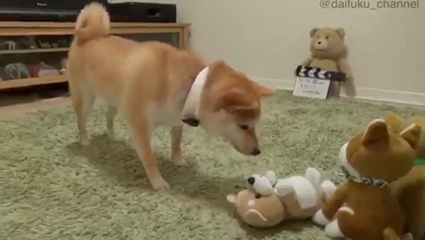 Сиба-ину злится от того, что игрушка ее пародирует. Видео