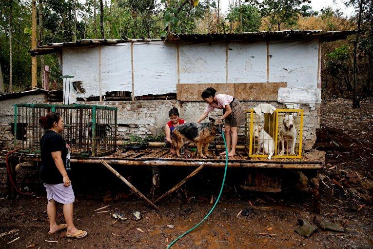 Жестокая Азия. Бои на выживание бойцовых собак и диких кабанов в Индонезии