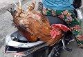 Во Вьетнаме бесстрашный петух ездит со своими хозяевами на мопеде