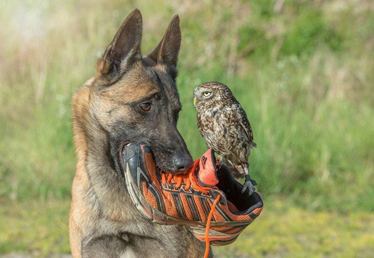 Загадочная история дружбы овчарки и совы