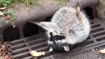 В США толстого енота спасли из решетки канализации