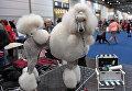 Пудель на выставке World Dog Show, которая проходит в Лейпциге (Германия)