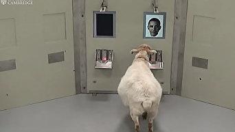 Ученые научили овец узнавать Барака Обаму, чтобы лучше лечить болезнь Паркинсона