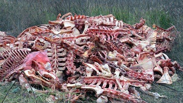 Под Одессой гниет огромный скотомогильник