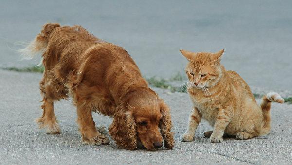 Английский кокер-спаниель и рыжий кот.
