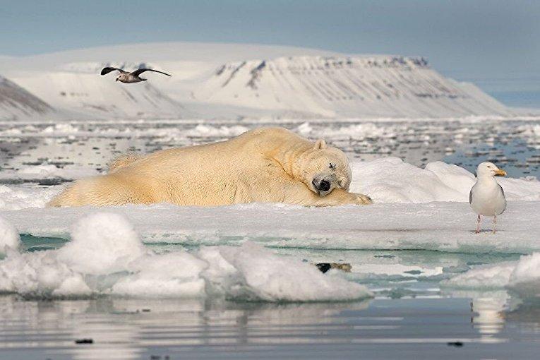 Снимок Сон на морском льду израильского фотографа Роя Галица