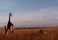 Жестокий мир животных. Появились кадры схватки жирафов со львом. Видео