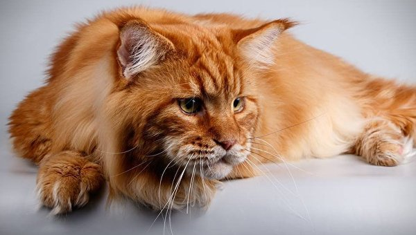 5-летний кот Кекс породы Мейн Кун
