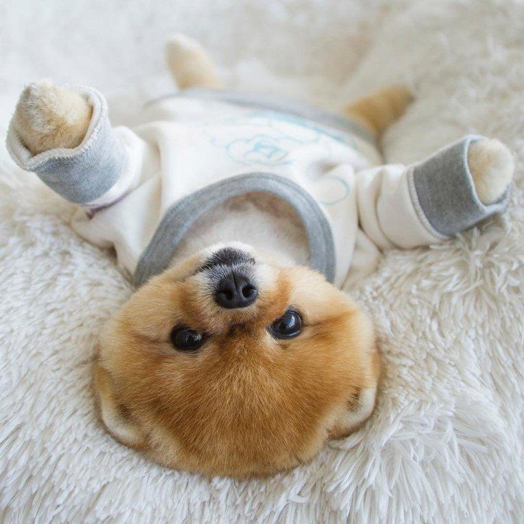 Пес Jiffpom - самый популярный пес Instagram
