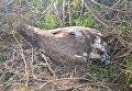 Краснокнижный сокол, убитый браконьерами в Одесской области