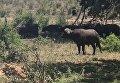 Схватка буйвола и льва в ЮАР