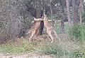 Что скажут родители?. Мужчина посрамил дерущихся кенгуру. Видео