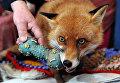 Лисица, которая считает себя псом