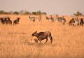 Охота львиц на антилопу попал на видео