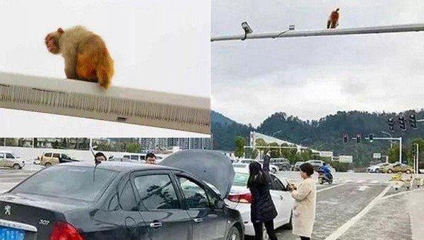 Китаянка спутала зад обезьяны скрасным сигналом светофора испровоцировала трагедию