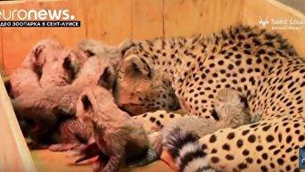 Самка гепарда в зоопарке в США родила рекордное число детенышей