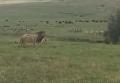 В Танзании маленькая собака показала льву, кто настоящий царь зверей