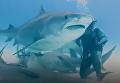Появилось видео, как дайверы кормили с рук беременную акулу. Видео