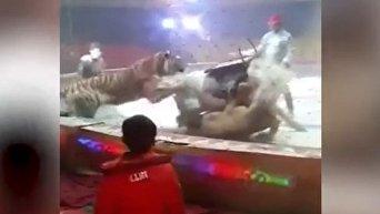 В китайском цирке лев и тигр набросились на лошадь. Видео
