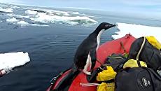 Антарктический стиль. Прыжок пингвина в лодку к ученым попал на видео. Видео