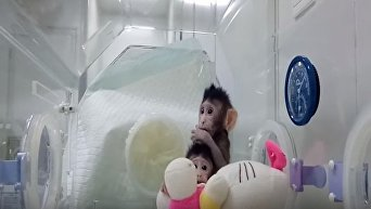 Китайские ученые показали успешно клонированных обезьян