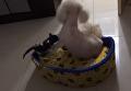Котенок-наглец показал, кто в доме хозяин. Видео
