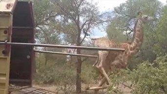 Жираф упал после освбождения