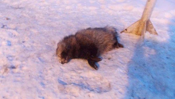 Бешеный енот застрелен пограничником на границе Украины и России