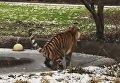 Тигрица неудачно прогулялась по тонкому льду
