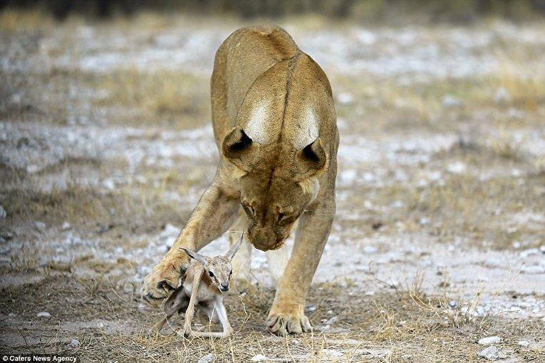 Львица приютила маленькую антилопу