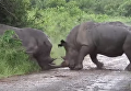 Схватка носорогов за территорию попала на видео. Видео