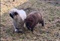 Познакомьтесь с овечкой, которая думает, что она - собака