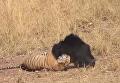 Схватка медведя с тигром попала на видео. Видео