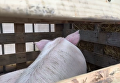 Появилось видео, как везли свиней к Кабмину под песни Ротару. Видео