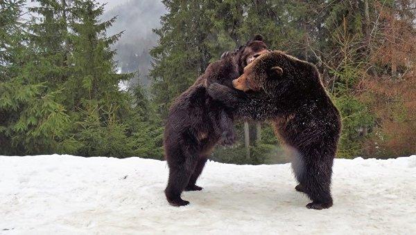 Бурые медведи на реабилитации в Национальном природном парке Синевир в Карпатах