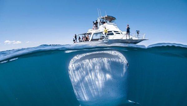 Гигантская китовая акула до смерти испугала туристов