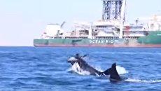 Косатки растерзали дельфина на глазах у ученых. Видео