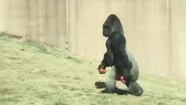Прогулка гориллы на двух ногах в Филадельфии