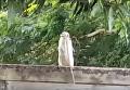 Появилось видео, как кукабара ест живую змею. Видео