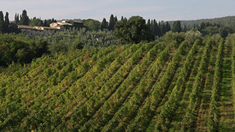 Виноградники. Архивное фото