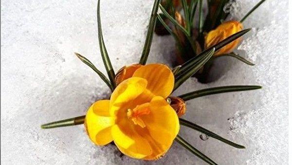В Украине цветут крокусы
