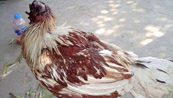 В Таиланде выжил цыпленок без головы
