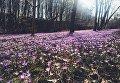 Цветущие крокусы на Закарпатье