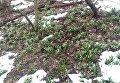 Заповедник в Черкасской области полностью усыпан цветущими подснежниками