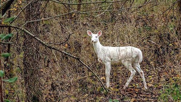 Редкая белая олениха появилась в одном из парков США